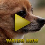 "Watch ""Chihuahua Rampage"" Now"